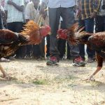 The formation of roosters begins well before Sankranti